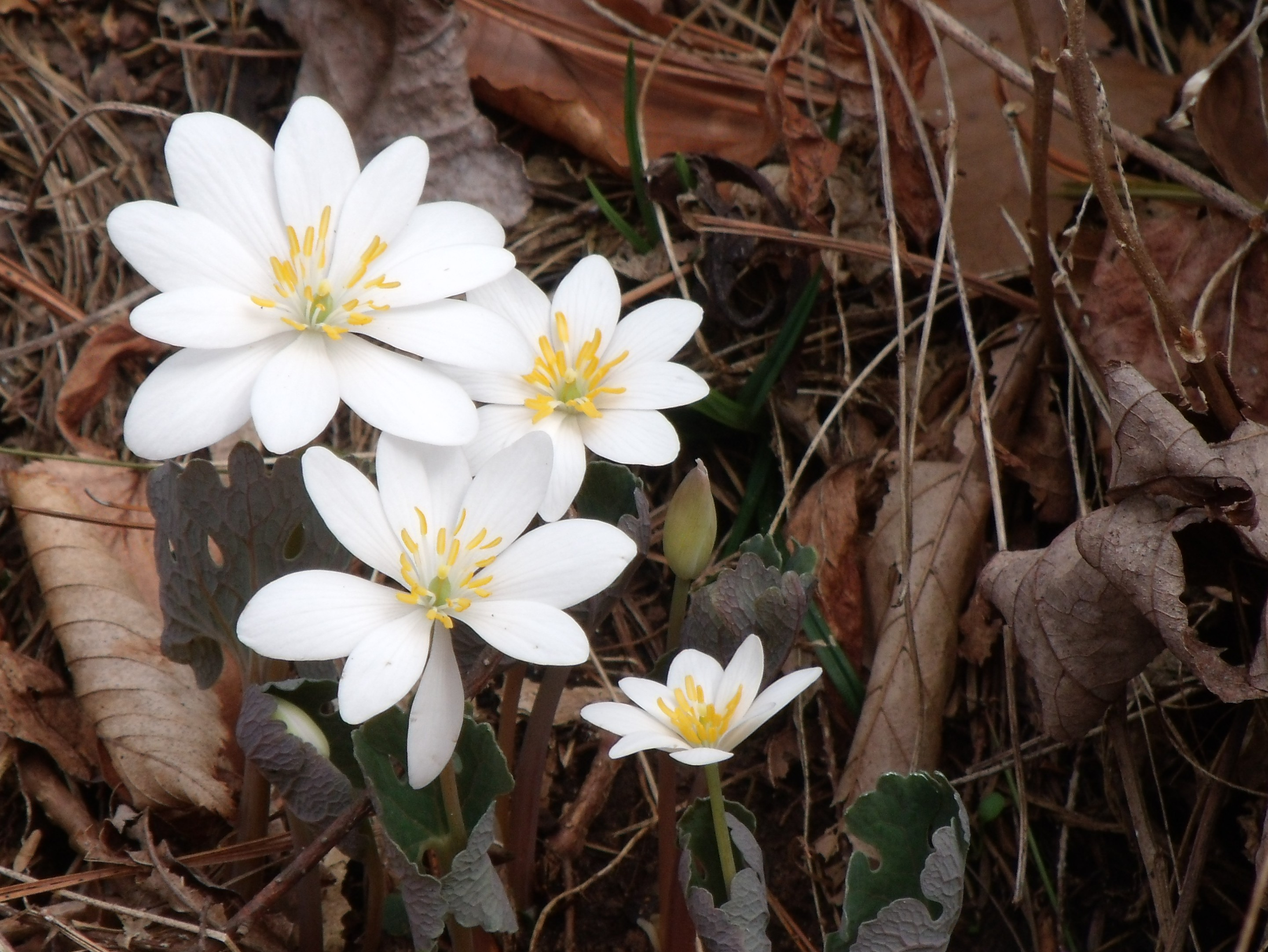 Bloodroot in bloom