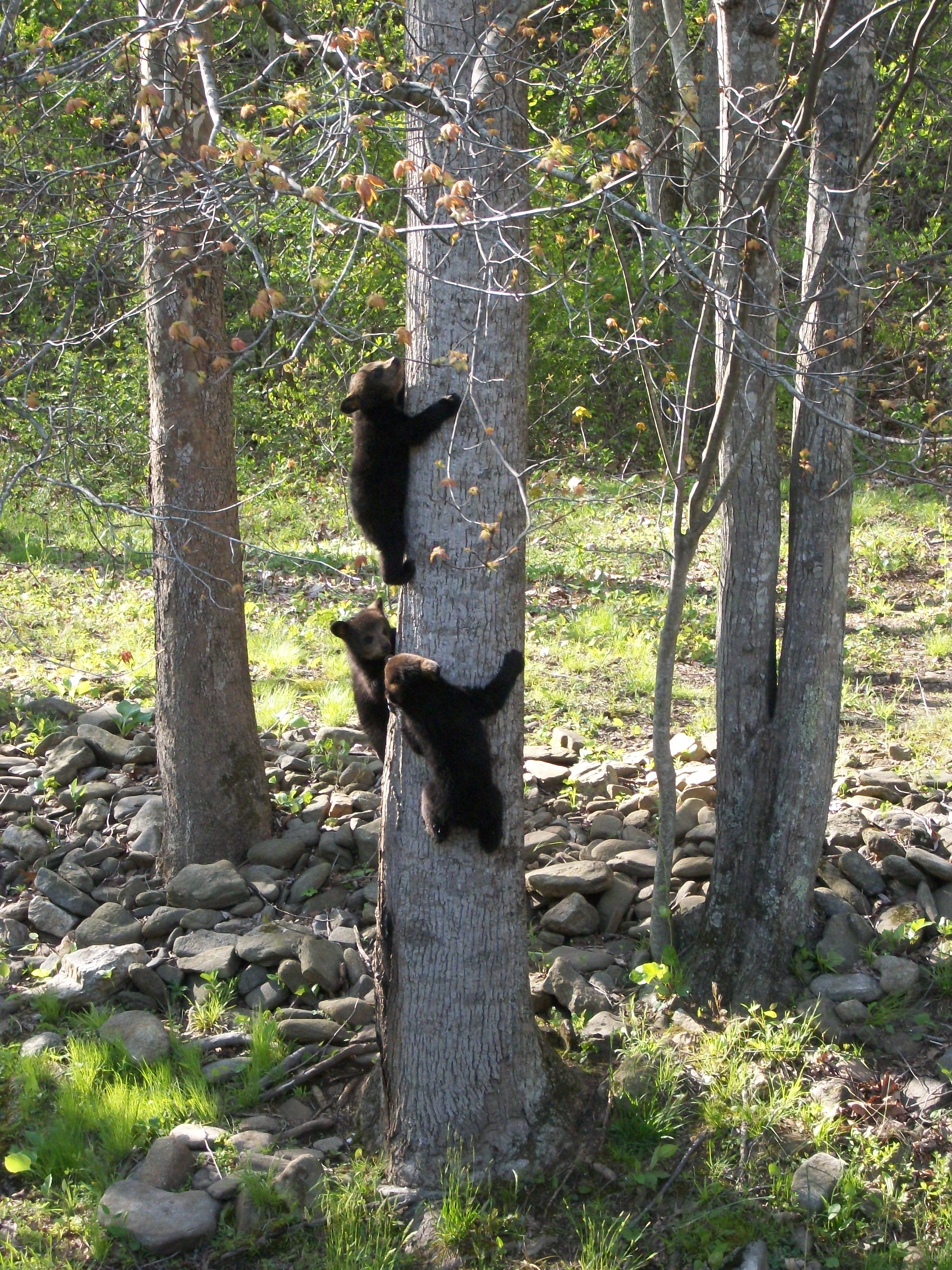 Spring 12 bears 051
