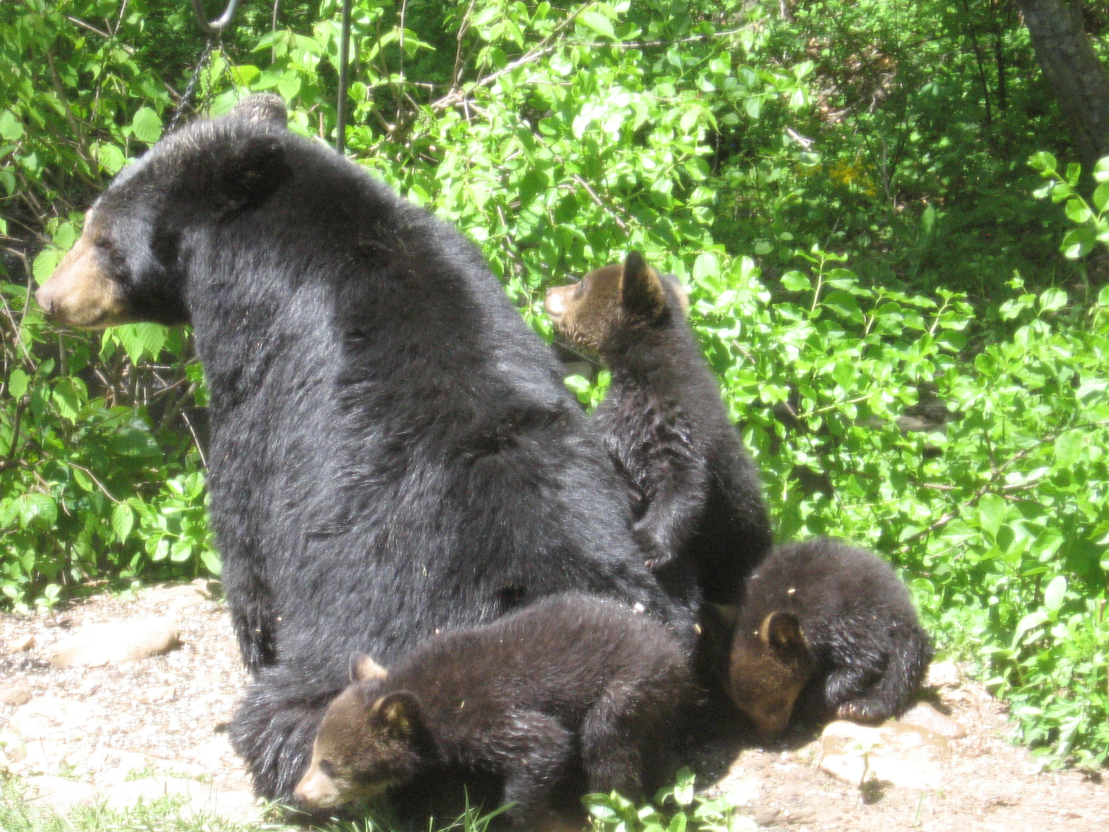 Mama and her cubs two years ago.