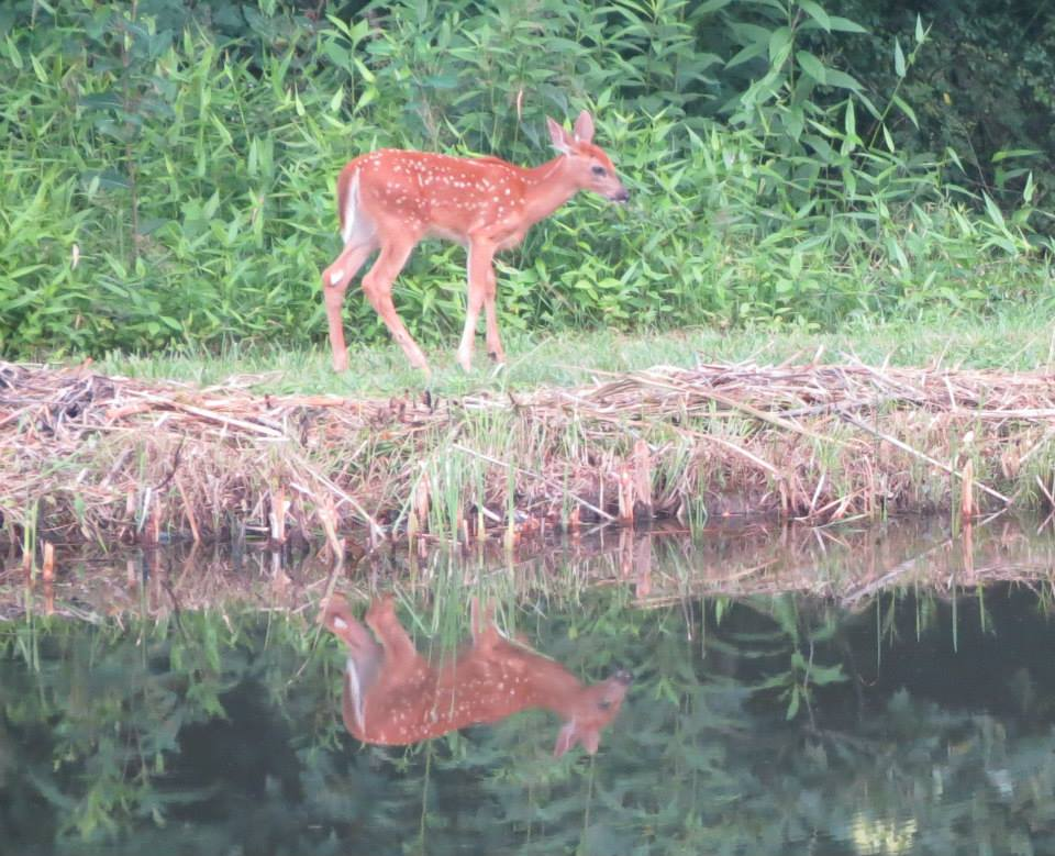 fawn at pond